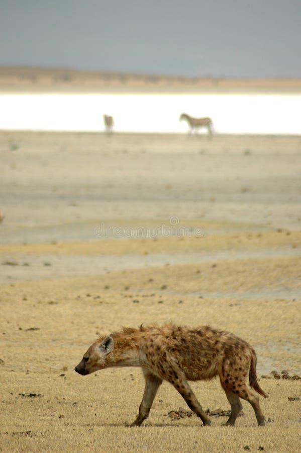 Het lachen Hyena in Ngorongoro royalty-vrije stock afbeeldingen