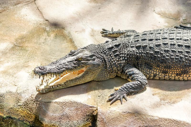 Het lachen Krokodil tanden en krokodilhoofd stock foto