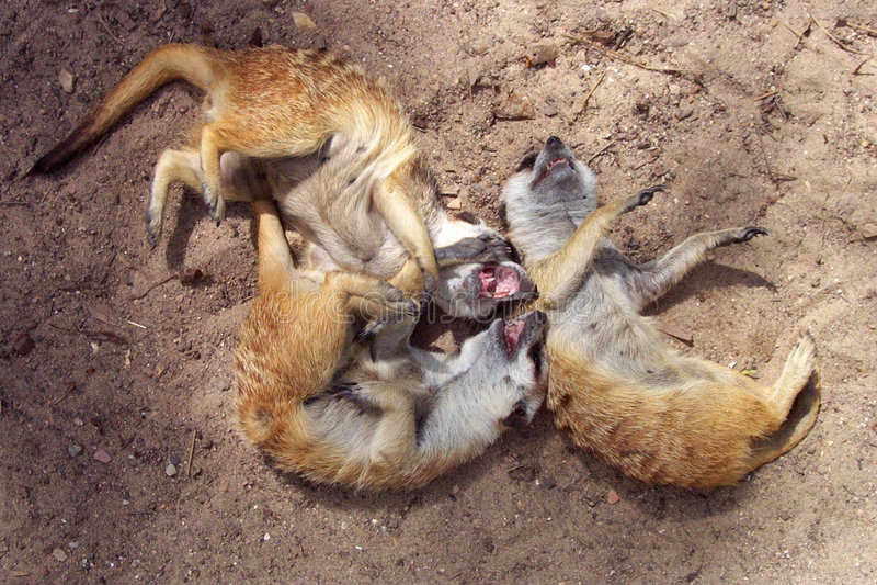 Download Het Lachen Meerkats Royalty-vrije Stock Afbeeldingen - Afbeelding: 54479