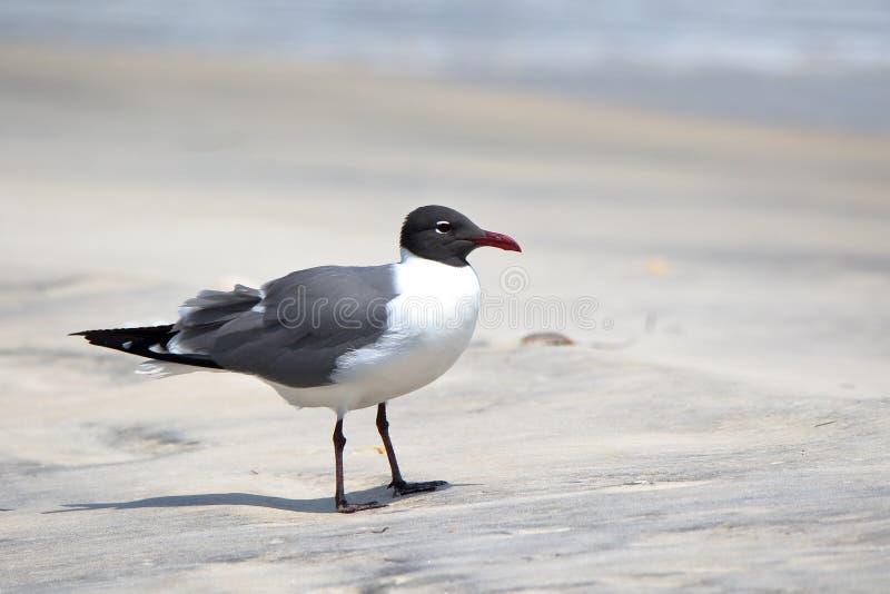 Het lachen meeuw die zich op een strand in Florida bevinden stock afbeeldingen