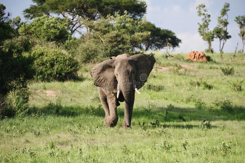 Het laden olifant royalty-vrije stock foto's