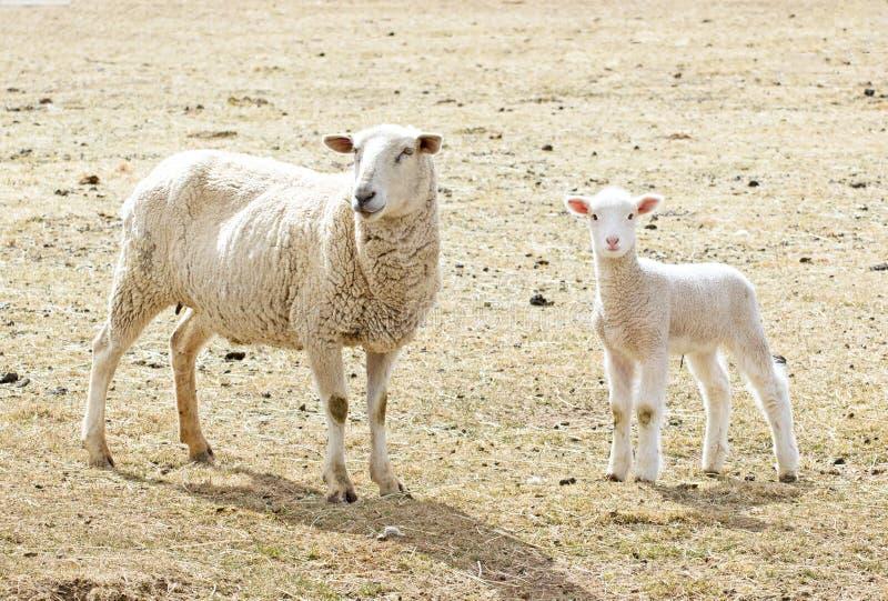 Het Lam van de lente met Mamma royalty-vrije stock afbeelding