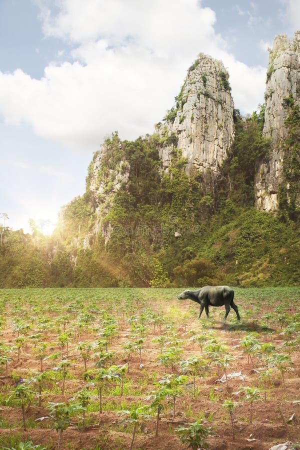 Het landbouwbedrijf en de berg van de buffelstapioca in Thailand royalty-vrije stock afbeeldingen