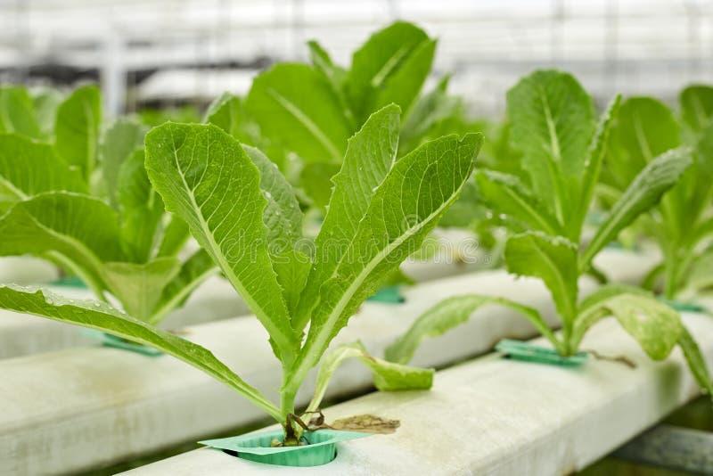 Het landbouwbedrijf van de groentenhydrocultuur royalty-vrije stock fotografie