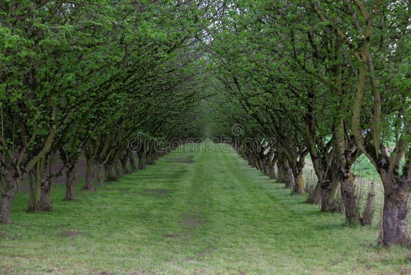Het Landbouwbedrijf van de hazelnootboom stock afbeelding