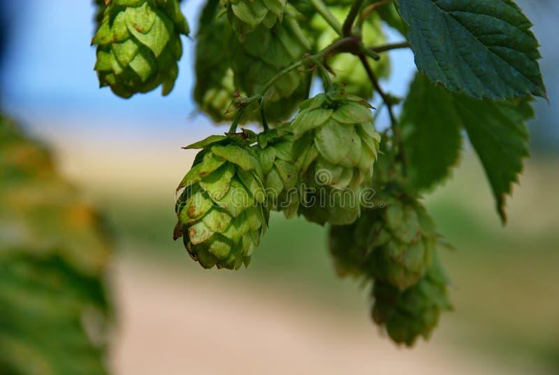 Het landbouwbedrijf van de hop #14 royalty-vrije stock foto's