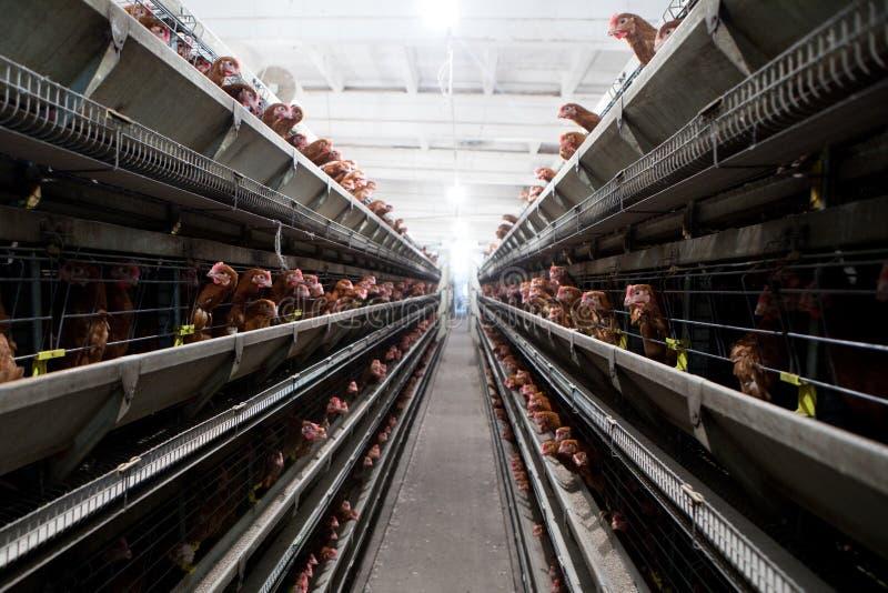 Het landbouwbedrijf van de kip royalty-vrije stock fotografie