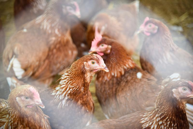 Het landbouwbedrijf van de kip stock foto's