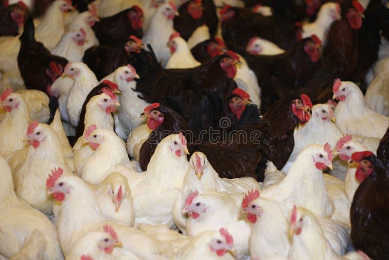 Het Landbouwbedrijf van de kip royalty-vrije stock afbeeldingen