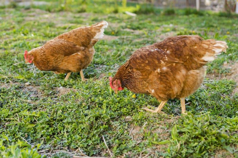 Het landbouwbedrijf van de kip stock afbeeldingen