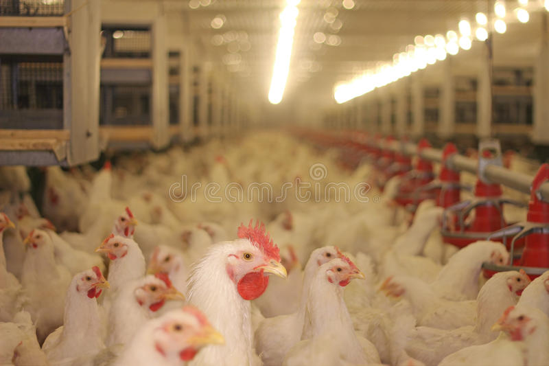 Het landbouwbedrijf van de kip stock afbeelding