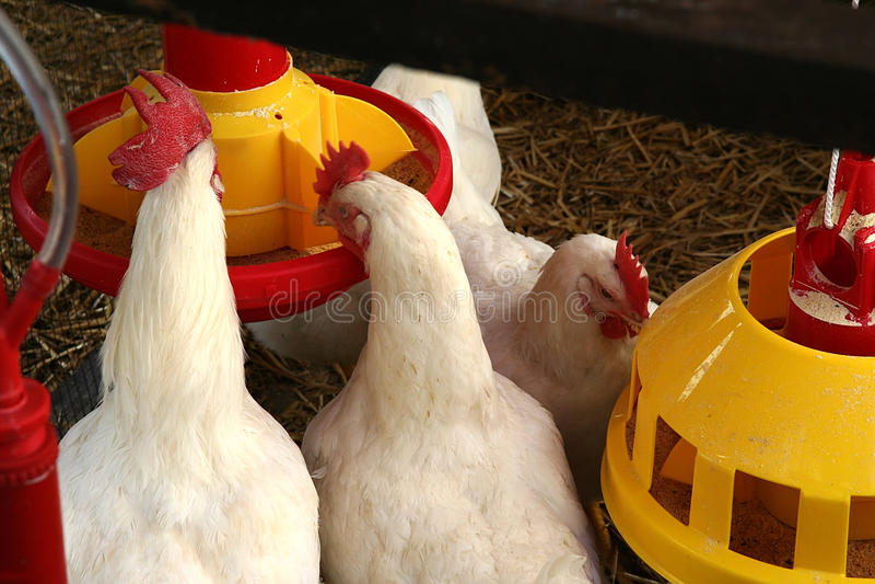 Het landbouwbedrijf van de kip royalty-vrije stock foto