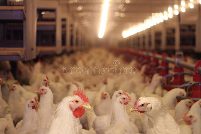 Het Landbouwbedrijf van de kip, Gevogelte stock afbeelding