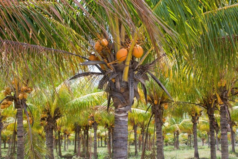 Het Landbouwbedrijf van de Kokospalm royalty-vrije stock afbeeldingen