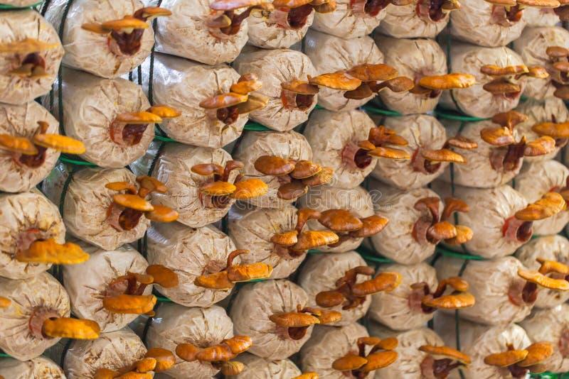 Het landbouwbedrijf van de Lingzhipaddestoel stock afbeeldingen