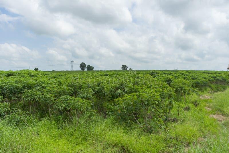 Het landbouwbedrijf van de maniokaanplanting in een landbouwbedrijf stock afbeeldingen