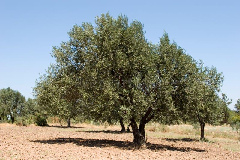 Het landbouwbedrijf van de olijfboom stock afbeelding