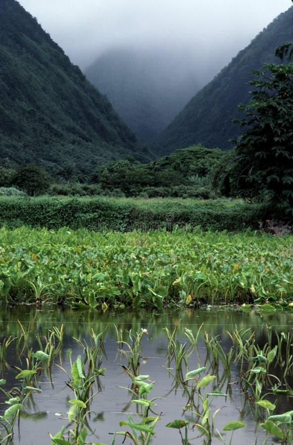Het landbouwbedrijf van de taro tussen 2 bergen stock fotografie