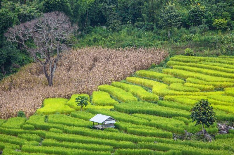 Het landbouwbedrijf van de terrasrijst in Thailand stock afbeeldingen