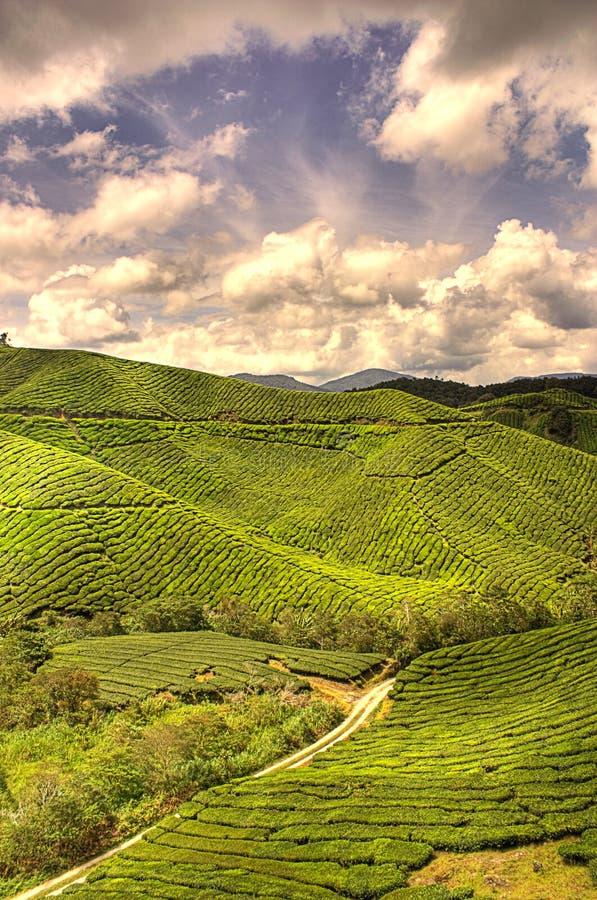 Het Landbouwbedrijf van de thee royalty-vrije stock afbeelding