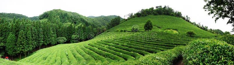 Het landbouwbedrijf van de thee stock afbeelding