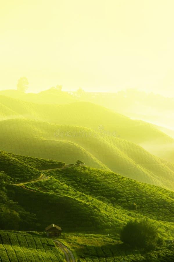 Het landbouwbedrijf van de thee stock foto