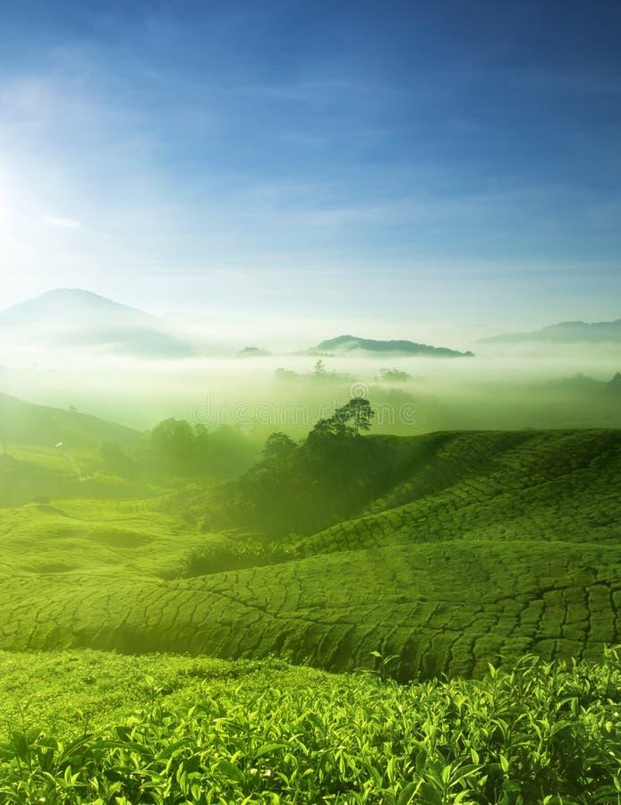 Het Landbouwbedrijf van de thee royalty-vrije stock afbeeldingen
