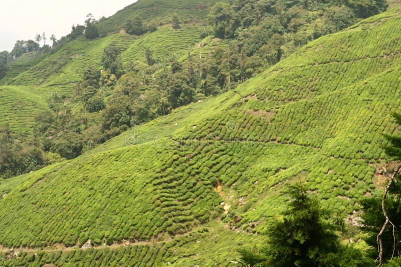 Het Landbouwbedrijf van de thee royalty-vrije stock fotografie