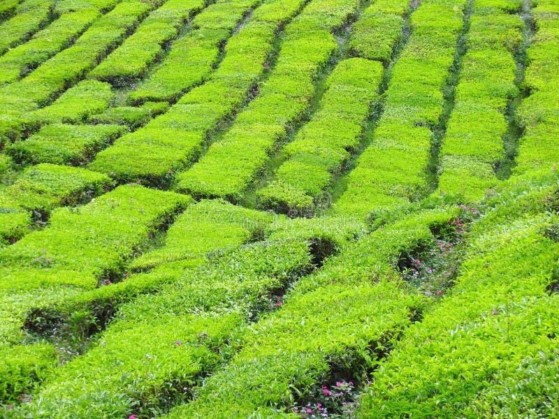 Het Landbouwbedrijf van de thee stock foto's