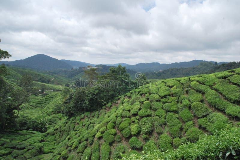 Het landbouwbedrijf van de theeboom stock foto