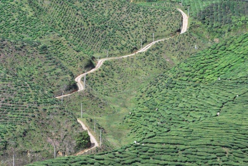 Het landbouwbedrijf van de theeboom stock fotografie