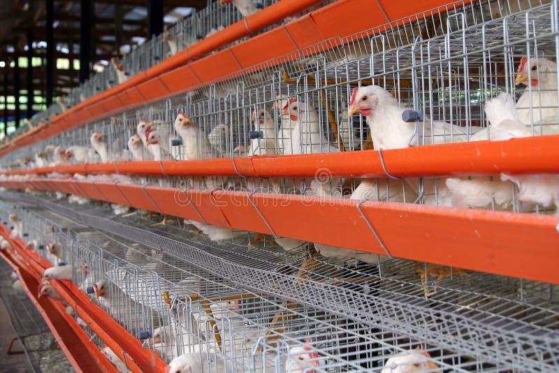 Het landbouwbedrijf van het ei royalty-vrije stock foto's
