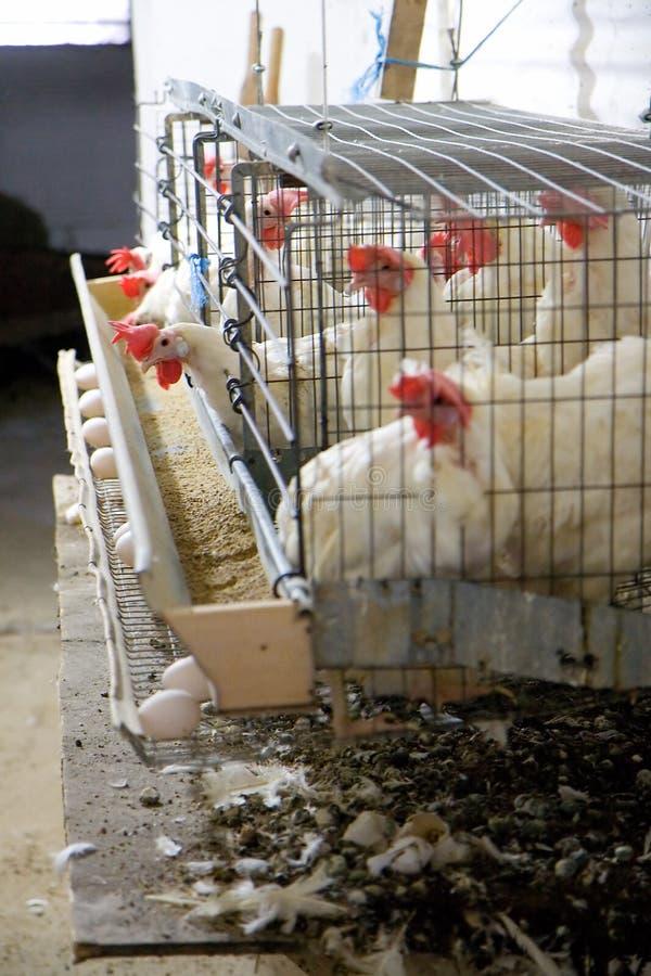 Het Landbouwbedrijf van het ei stock fotografie
