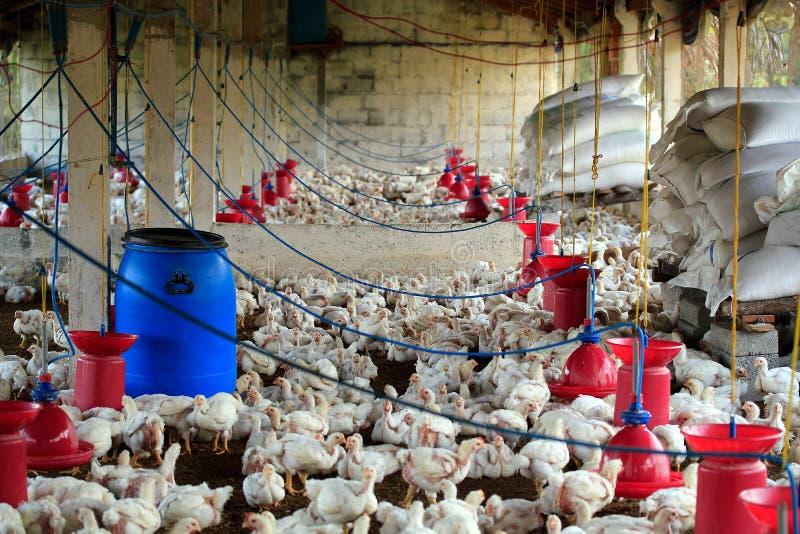 Het landbouwbedrijf van het gevogelte met braadkip (kip) royalty-vrije stock foto