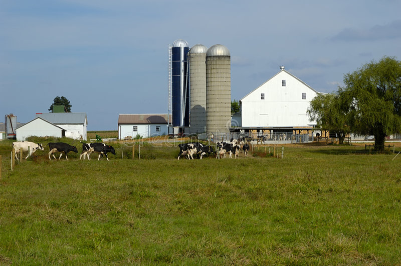 Het Landbouwbedrijf van het vee stock fotografie