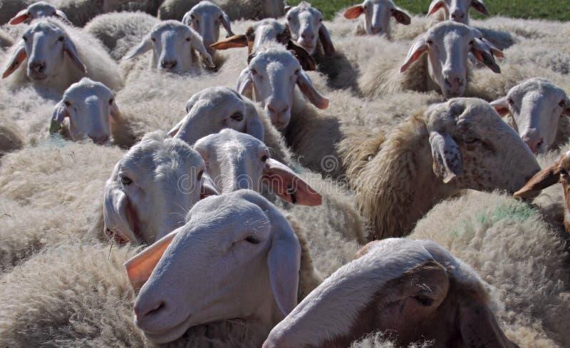 Het landbouwbedrijf van het vee, kudde van schapen stock fotografie
