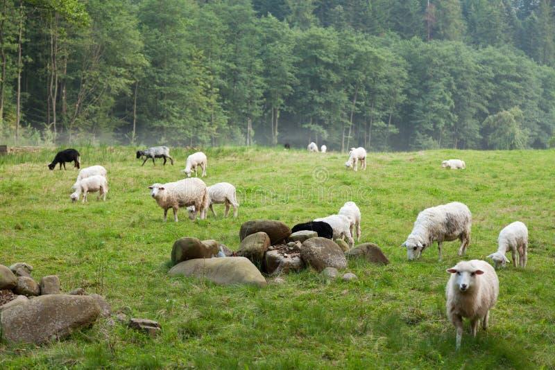 Het landbouwbedrijf van wolschapen, landelijke leuke dieren stock foto
