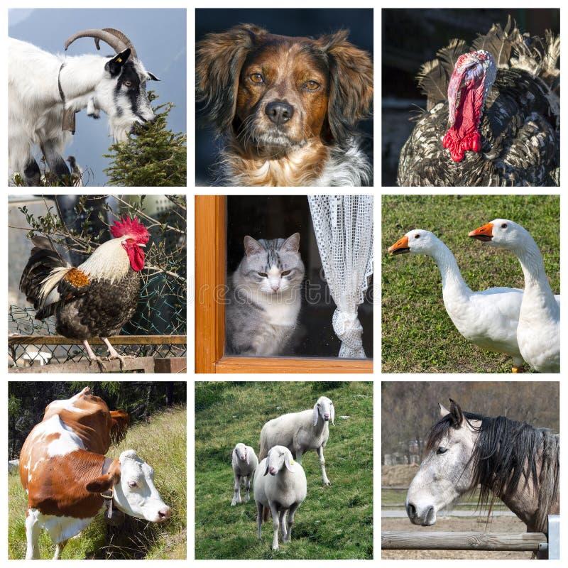 Het landbouwbedrijfcollage van dieren stock afbeeldingen