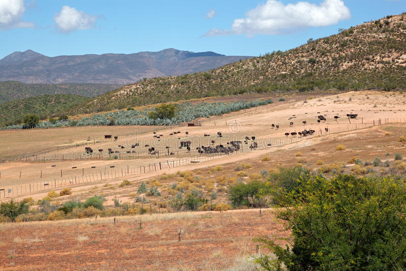Het landbouwbedrijflandschap van de struisvogel stock fotografie