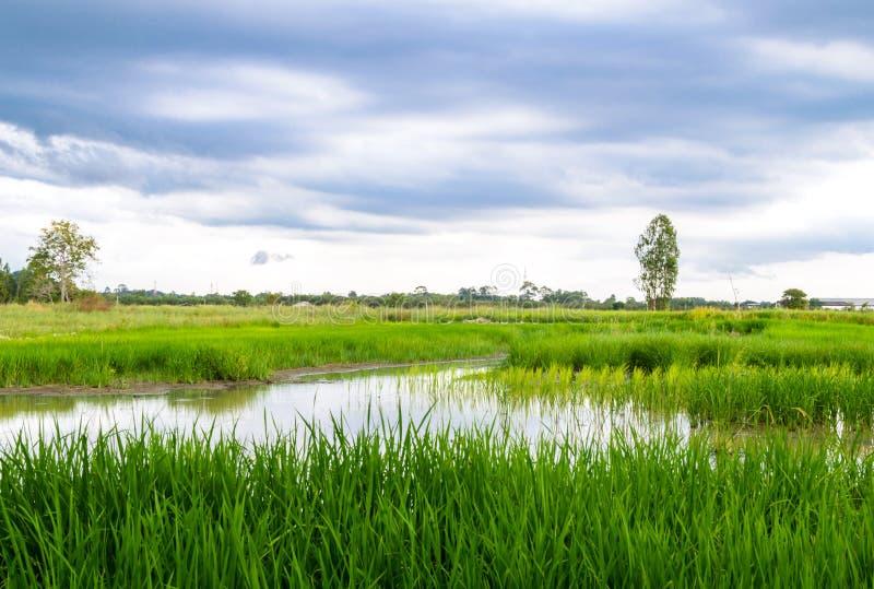 Het landbouwbedrijfmening van de rijst stock fotografie