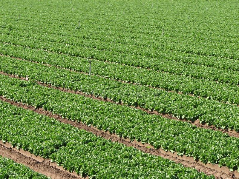 Het landbouwbedrijfrijen van de sla stock fotografie
