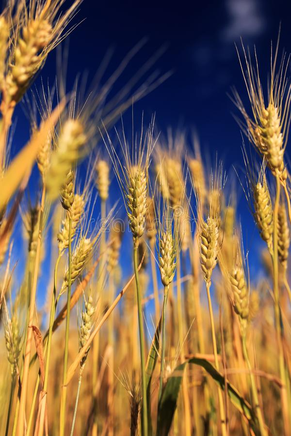 het landelijke landschap met een gebied van Gouden tarweoren tegen een blauwe duidelijke hemel rijpte op een warme de zomer Zonni stock foto's