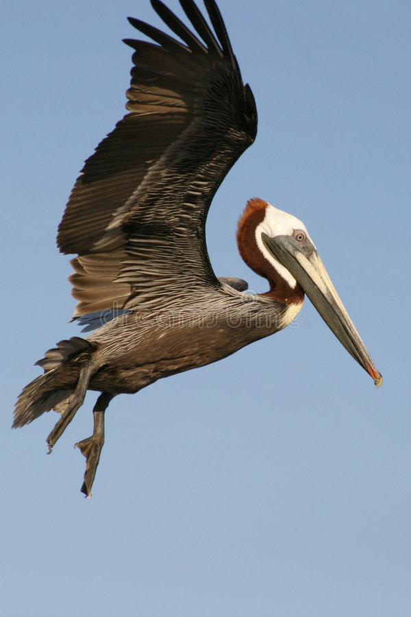 Het Landen van de pelikaan stock afbeeldingen