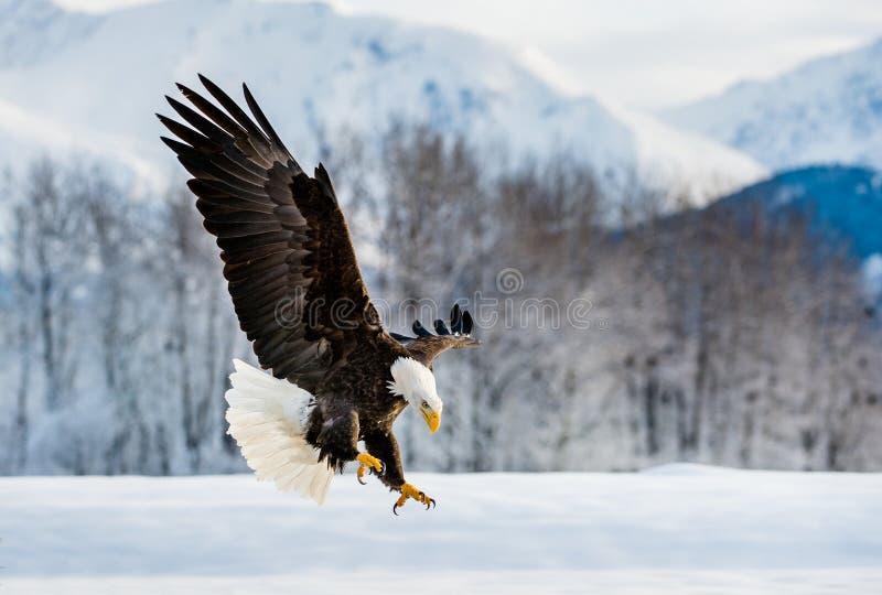 Het landen Volwassen Kaal Eagle stock foto