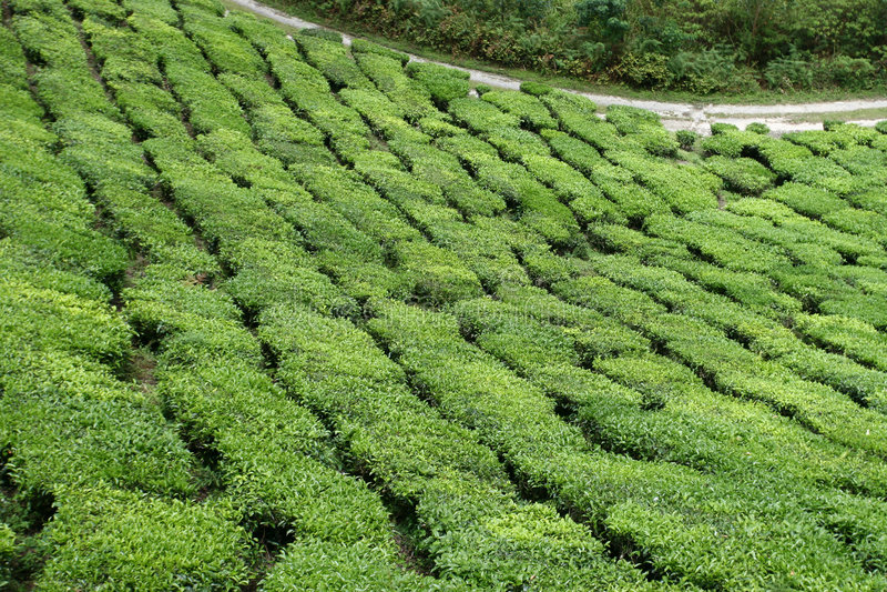 Het Landgoed van de thee royalty-vrije stock foto