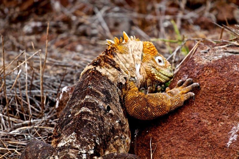 Het landleguaan van de Galapagos royalty-vrije stock afbeeldingen