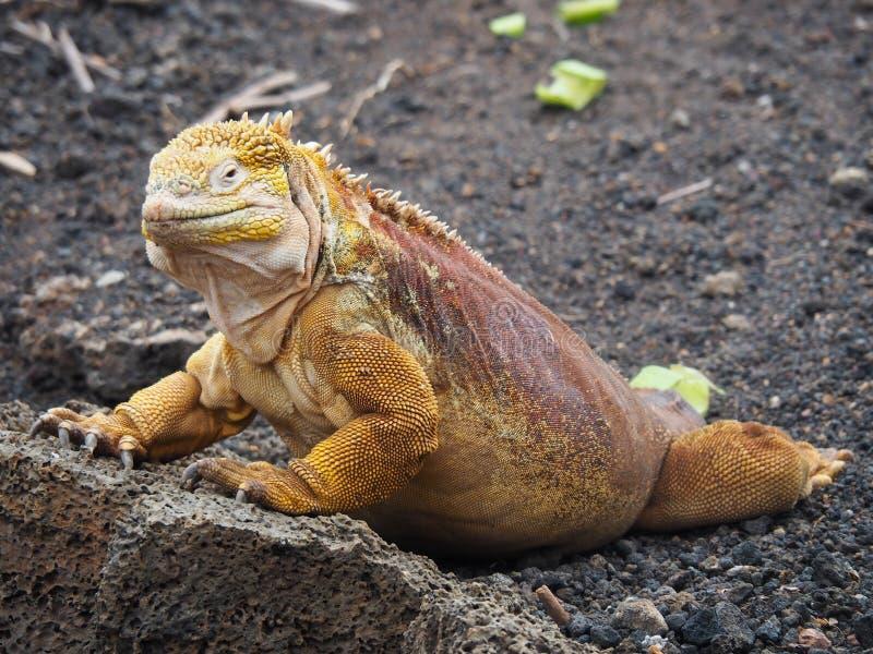 Het landleguaan van de Galapagos, Conolophus-subcristatus, in de Eilanden van de Galapagos, Ecuador stock fotografie