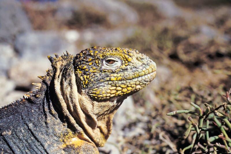 Het landleguaan van de Galapagos, de Eilanden van de Galapagos, Ecuador stock fotografie