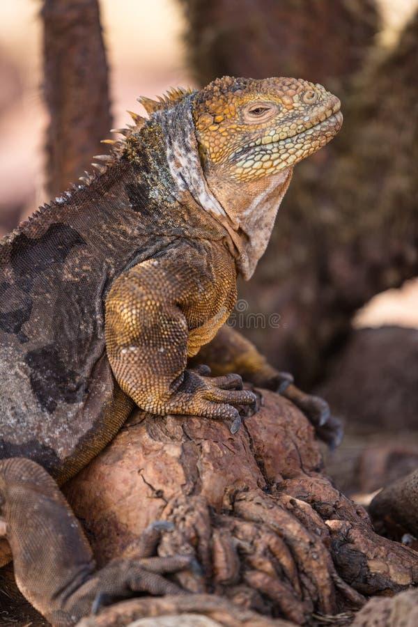 Het Landleguaan van de Galapagos - gele landleguaan op het Noorden Seymour, de Eilanden van de Galapagos royalty-vrije stock foto