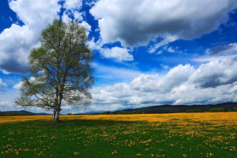 Het landschap van de de zomerscène, gele bloemweide met berkboom, mooie blauwe hemel met grote grijze witte wolken, berg in backg stock foto